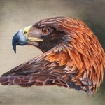 Golden Eagle Portrait.