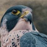 Peregrine Falcon Portrait II