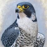 """peregrine falcon painting"" ""peregrine falcon study"""