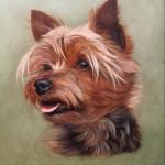 dog-portraits-yorkshire-terrier