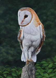BARN OWL copy